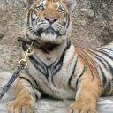 le-temple-des-tigres-22