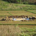 Travail en rizière